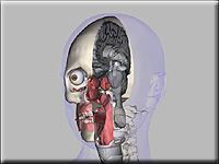 Medical animation of head anatomy